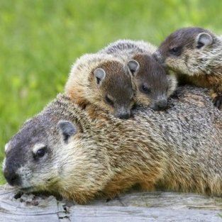 groundhog mommy